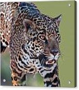 Jaguar Walking Portrait Acrylic Print