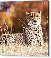 Leopard Watching Acrylic Print