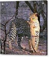 Leopard With African Wild Cat Kill Acrylic Print