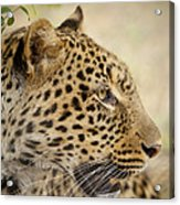 Leopard Zimbabwe Acrylic Print
