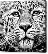 Leo's Portrait Acrylic Print