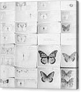 Lepidopterology Acrylic Print