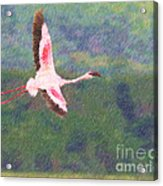 Lesser Flamingo Phoenicopterus Minor Flying Acrylic Print