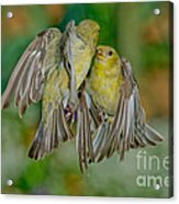 Lesser Goldfinch Females Fighting Acrylic Print