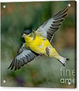 Lesser Goldfinch Male-flying Acrylic Print