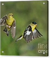 Lesser Goldfinch Pair In Flight Acrylic Print