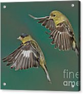 Lesser Goldfinch Pair In The Air Acrylic Print