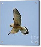 Lesser Kestrel Falco Naumanni Acrylic Print