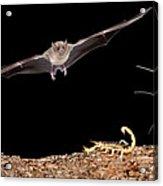 Lesser Long-nosed Bat Approaching Acrylic Print