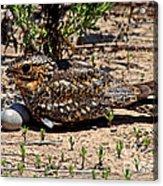 Lesser Nighthawk Chordeiles Acutipennis Acrylic Print