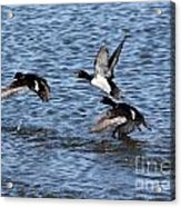 Lesser Scaup Ducks Acrylic Print