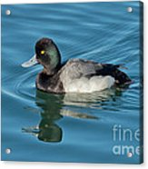 Lesser Scaup Male Swimming Acrylic Print