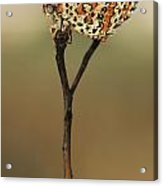 Lesser Spotted Fritillary Acrylic Print by Alon Meir