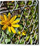 Let Me Out Acrylic Print