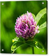 Let Us Live In Clover - Featured 3 Acrylic Print