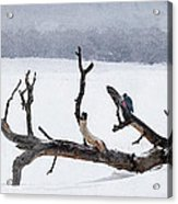 Letting Go  -  Lewis Woodpeckers Acrylic Print