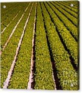 Lettuce Farming Acrylic Print