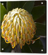 Leucospermum  -   Yellow Pincushion Protea Acrylic Print