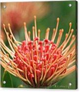 Leucospermum Pincushion Protea Flower - Tropical Sunburst - Hawaii Acrylic Print