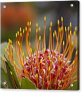 Leucospermum Pincushion Protea - Tropical Sunburst Acrylic Print
