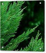 Leyland Cypress Green Acrylic Print