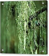 Lichen Hangs From A Tree  Corvallis Acrylic Print