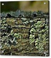 Lichen Macro I Acrylic Print