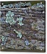Lichen Macro II Acrylic Print
