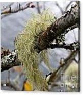 Lichen On Tree Acrylic Print