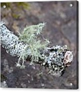 Lichens 2013 Acrylic Print