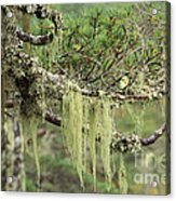 Lichens On Tree Branches In The Scottish Highlands Acrylic Print