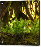 Licorice Fern Acrylic Print