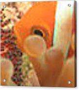 Life Cycle Of Anemone Fish Acrylic Print