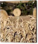 Life Cycle Of Wheat - Harvesting Acrylic Print