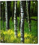 Life Is A Birch Acrylic Print