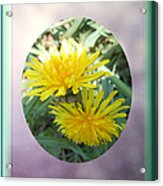 Life Is Made Up Of Dandelions Acrylic Print