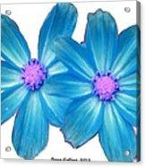 Light Blue Asters Acrylic Print