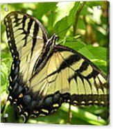 Light Form Female Tiger Swallowtail Acrylic Print