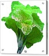 Light Green Iris Acrylic Print