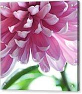 Light Impression. Pink Chrysanthemum  Acrylic Print