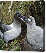 Light-mantled Albatross Feeding Chick Acrylic Print