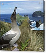 Light-mantled Albatross Sky-pointing Acrylic Print