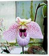 Pink Orchid Acrylic Print