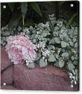 Light  Pink  Peonies Acrylic Print