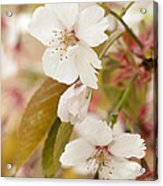 Light Pink Spring Blossom Acrylic Print