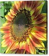 Light-shade Sunflower Acrylic Print