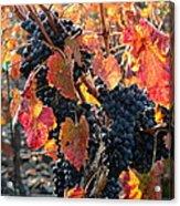 Light Through Fall Vineyard Acrylic Print