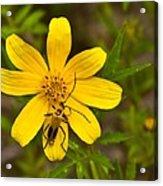 Lightning Bug On Flower Acrylic Print