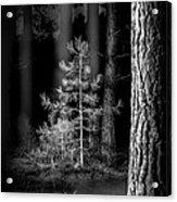 Lightpainting The Pine Forest New Growth Acrylic Print by Dirk Ercken