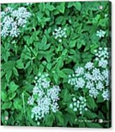 Like Queen Annes Lace Acrylic Print
